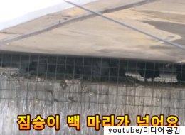 비둘기들이 다리 밑에 산 채로 갇힌 모습에 시민들이 분노했다(영상)