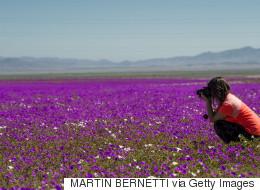 Σπάνιο φαινόμενο: Άνθισε η πιο ξερή έρημος του κόσμου, έπειτα από απρόσμενη βροχή