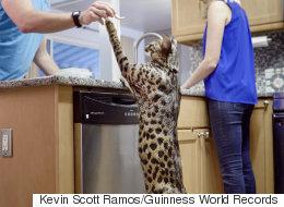세계에서 가장 키 큰 반려 고양이가 두 발로 서봤다(사진)