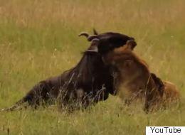 Βίντεο: Θανάσιμη μάχη μέχρι τελικής πτώσης- λιοντάρι εναντίον γκνου