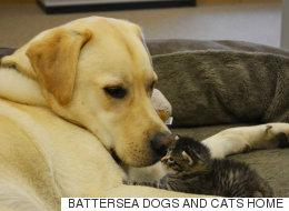 5주 된 새끼 고양이의 수양 아빠가 된 이 래브라도(동영상)