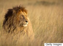 Ένας, αλλά λέων: Τι συνέβη όταν ύαινες όρμησαν σε λιοντάρι για να του αρπάξουν το φαγητό του