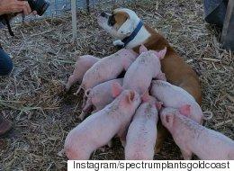 새끼 돼지 8마리의 엄마가 된 반려견