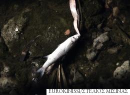 Νέκρα ψάρια στο ρέμα της Πικροδάφνης