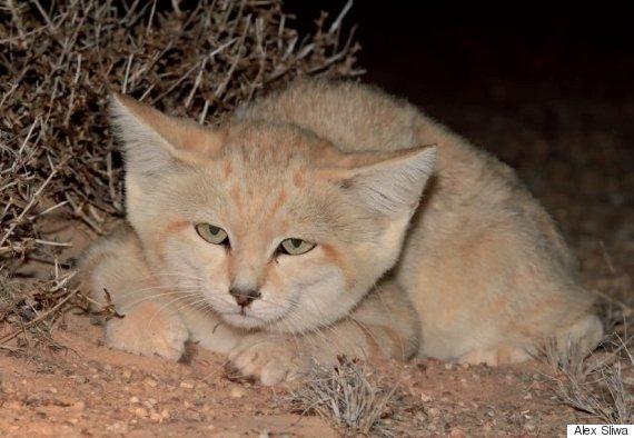 Maroc : trois chatons des sables filmés pour la première fois