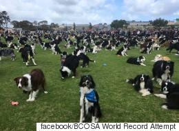 호주 보더콜리 축제에 온 보더콜리들의 수(사진, 영상)