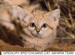 야생에서 발견된 '모래고양이'들은 정말 귀엽다