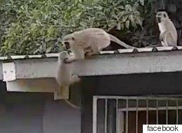 3주 만에 새끼와 재회한 어미 원숭이의 반응