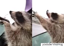 빗방울을 잡으려고 손을 뻗는 라쿤은 사랑스럽다(영상)