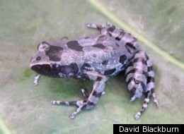 Bururi Long Fingered Frog