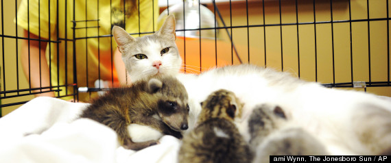 CAT ADOPTS RACCOON