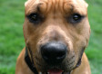 Staten Island Pit Bull Takes Bullet To Save Owner, Justin Becker, During Break-In And Survives