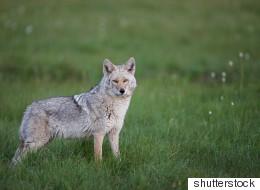 Λύκος επιτέθηκε και τραυμάτισε κτηνοτρόφο στον Παρνασσό