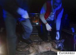 Νεκρή νεαρή λύκαινα σε τροχαίο