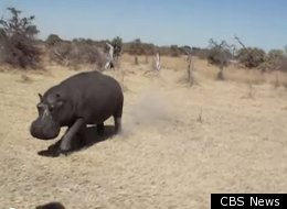 Angry Hippo Charges At Tourists
