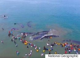 수백명이 인간띠를 만들어 고래들을 구조했다(영상)