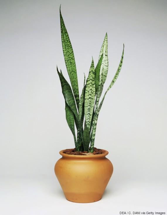 wenn ihr euch diese pflanzen ins zimmer stellt schlaft ihr besser. Black Bedroom Furniture Sets. Home Design Ideas