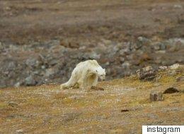모두를 울게 만든 캐나다 북극곰의 짧은 일상