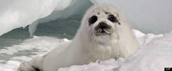 CANADA SEAL HUNT 2012