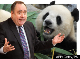 Alex Salmond Panda Advert