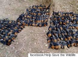 호주에서 박쥐들이 떼죽음을 당했다(사진)