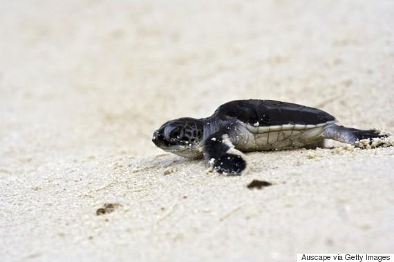 green sea turtle great barrier reef