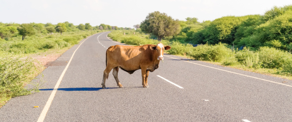 COW ROAD
