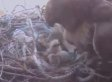 Hawk Camera: Rosie Brings Eyass Its First New York City Meal, A Rat