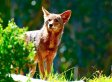 Maple Ridge Mutilated Cats: Coyotes, Not Humans, Did It, Says SPCA