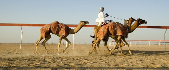 SAUDI CAMEL RACE