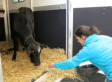 Cow That Escaped Paterson Slaughterhouse Now In Animal Sanctuary (VIDEO)