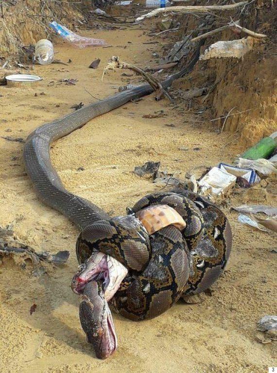 snakes king cobra