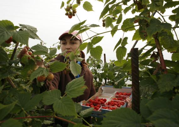 spain strawberry
