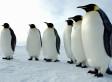 Emperor Penguin Census Taken Via Satellite Mapping Shows Big Rise In Bird Population