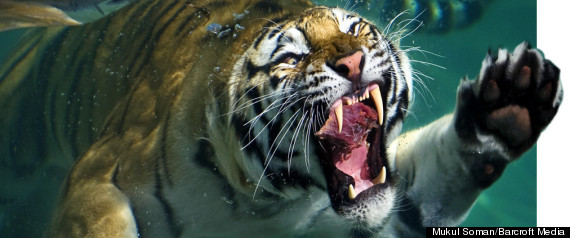 Tiger Diving Zoo Underwater Stunning