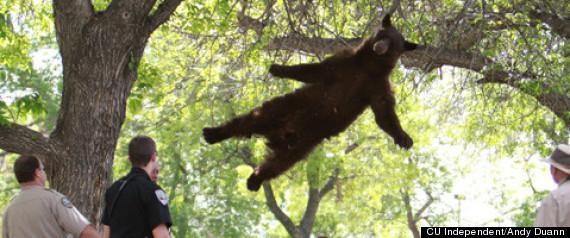 BEAR FALLING