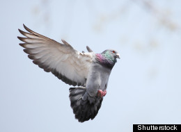 Pigeon Flying