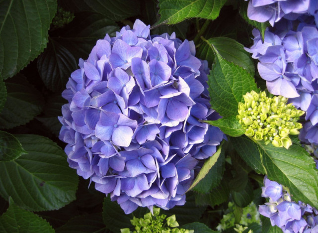 Sprout home plant of the week how to care for hydrangeas in your spring garden huffpost - Caring hydrangea garden ...