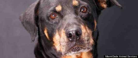 Sugar Rottweiler Animal Adoption Miami