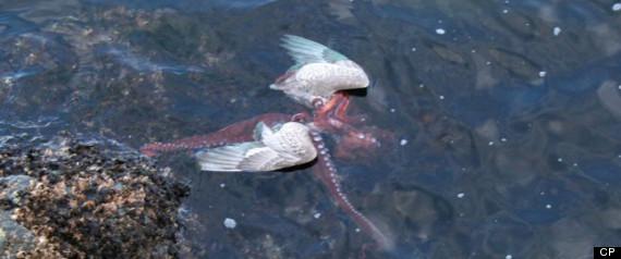 OCTOPUS EATS SEAGULL