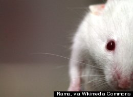 Lab_mouse_mg_3135