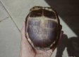 Holland Cokeley, Penn. Father, Finds Turtle Son Carved Initials Into 47 Years Ago (VIDEO)