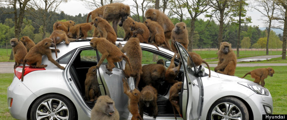 hyundai car monkeys