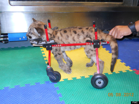 injured panther kitty rehab florida