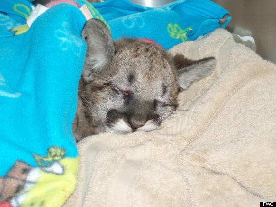 florida panther kitten rehab head trauma
