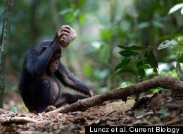 Chimp Nut Cracking