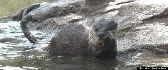 ASIAN SMALLCLAWED OTTER