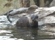 National Zoo Welcomes 11 New Small-Clawed Otters