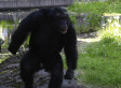 Santino, Stone-Throwing Chimp, Sparks Debate About Planning Ability In Primates