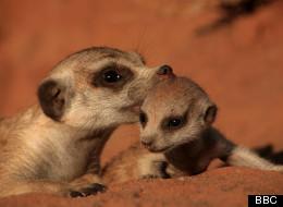 TV Pick: Meerkat Mischief
